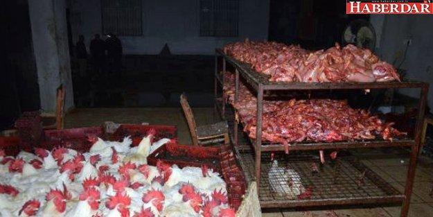 Kaçak Tavuk Kesimhanesi Baskınından Korkunç Görüntü!