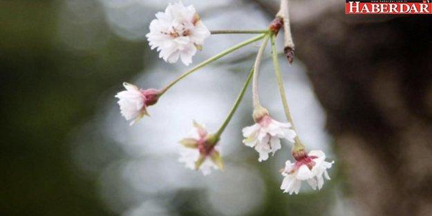 Kiraz çiçekleri 6 ay erken açtı