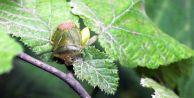 Dünyayı Dolaşan Hastalık, Karadeniz Bölgesinde Bitkilere Bulaştı