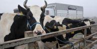 Krizin faturasını ineklere kestiler