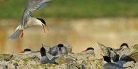 Sumru kuşları koruma altına alındı