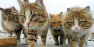 Veteriner hekimler kedileri uyardı