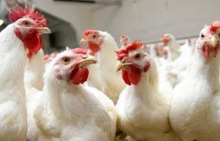 Kuş gribi geri döndü: 330 bin tavuk öldürülecek