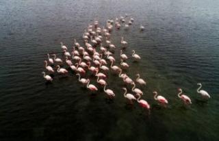 Büyükçekmece'de flamingolar masalsı görüntüler...