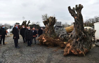 Tünel inşaatı nedeniyle risk altına giren zeytin ağaçlarını belediye Avcılar'a taşıdı