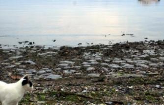 Korkutan gelişme: Binlerce ölü denizanası kıyıya vurdu