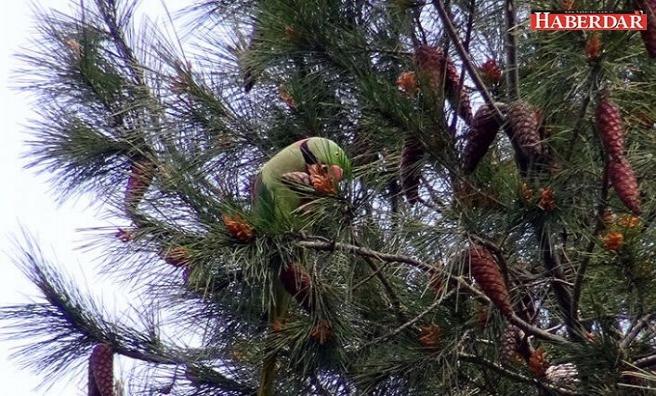 Avcılar'da şaşırtan görüntü... Ağaçlar papağanlarla doldu