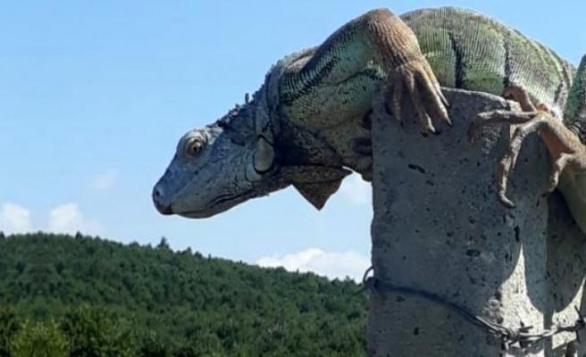 Çatalca'da görülen dev iguana, bakanlık yetkililerini harekete geçirdi