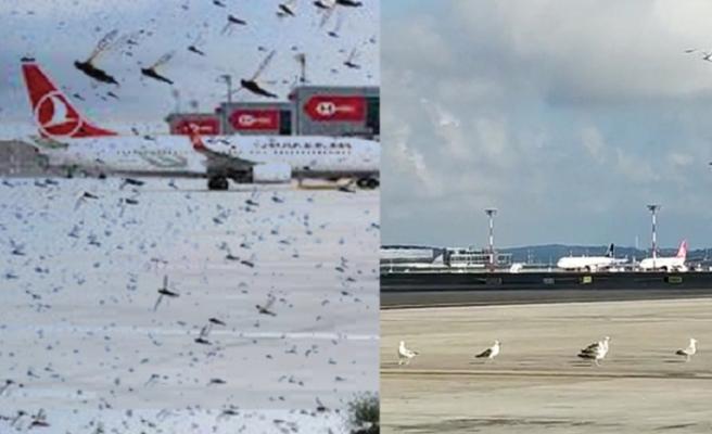 Korku filmi gibi bir sabah: İstanbul Havalimanı'nda çekirge istilası!