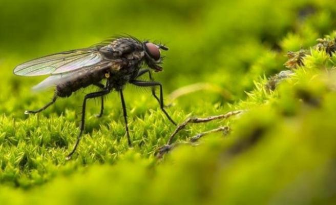 İstanbul'da kara sinek artışı: 'İlaca dirençli olanlar çıkabilir'
