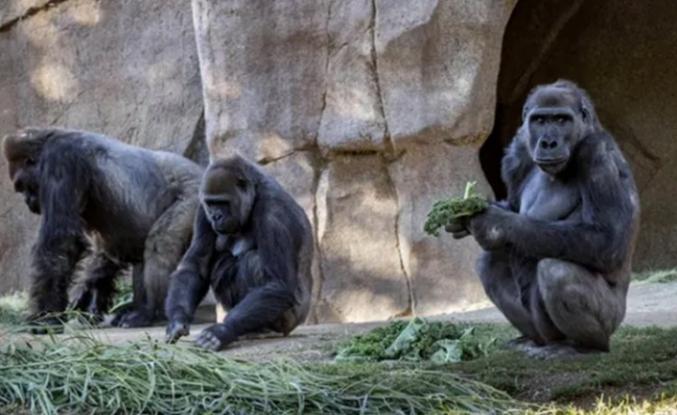 13 gorilin koronavirüs testi pozitif çıktı