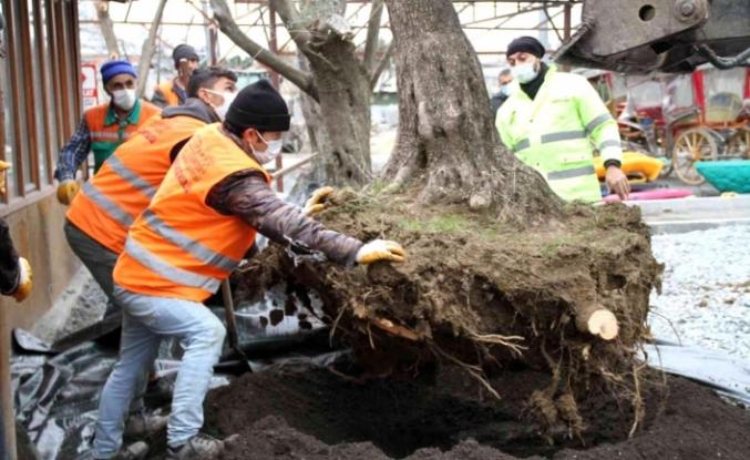 Esenyurt'ta asırlık zeytin ağaçlarını kesilmekten kurtarıldı