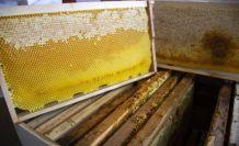 Silivri Belediyesi 450 kilo doğal bal üretti